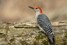 Red Bellied Woodpecker On Stump