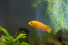 Malawi Yellow Cichlid Fish Aquarium Decor Algae