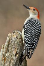 Red Bellied Woodpecker On Stump