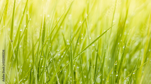 Fresh lush green grass on meadow with drops of water dew in morning light in spring summer outdoors close-up macro, panorama. Beautiful artistic image of purity and freshness of nature, copy space. #302088336