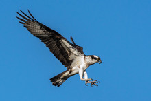 Osprey Flying With Wings Outst...