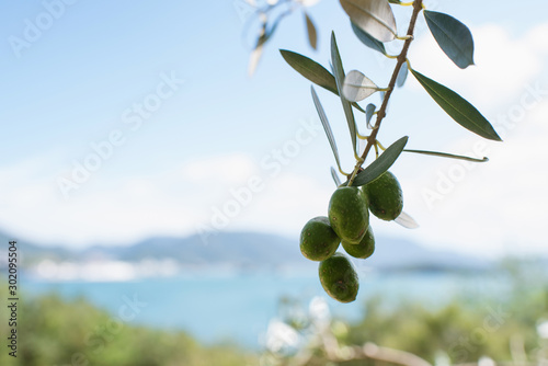 Foto op Aluminium Olijfboom Olive tree against blue sea and sky, Shodoshima Island in Kagawa, Japan オリーブの木と瀬戸内海 香川県・小豆島