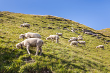 Flock Of Sheep Grazing On Grassy Slope With Copy Space And Blue Sky