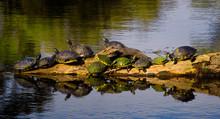 Turtles Gathered On Log