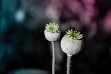 Poppy Seed Pod And Flower Clos...