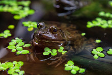 Close Up Of A Small Frog, Bull...