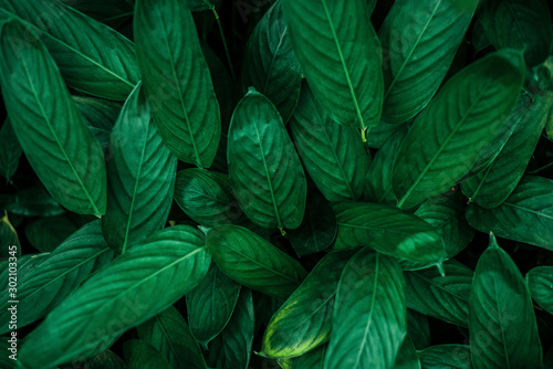 Fototapeta Exotic colorful flowers on a dark tropical leaf background, nature, tropical foliage in Asia obraz na płótnie