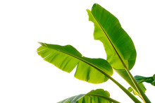 Green Banana Leaf Isolated On ...