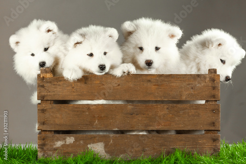 Obraz samoyed dogs puppies isolated on white - fototapety do salonu