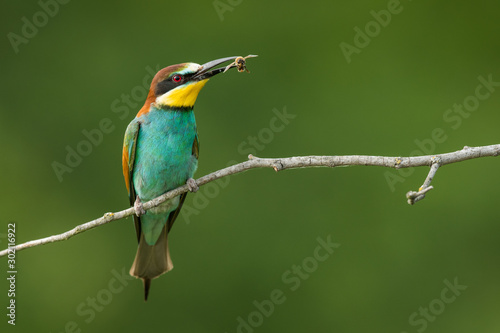 European bee-eater in the natural environment, wildlife, close up, Europe, Merop Wallpaper Mural