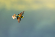 European Bee-eater In The Natu...
