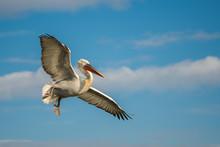 Dalmatian Pelican In The Natur...