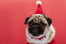 Adorable Pug Wearing Santa Hat...