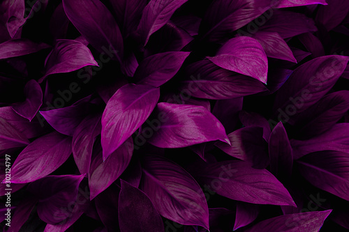 abstract purple leaf texture, nature background, tropical leaf #302124797