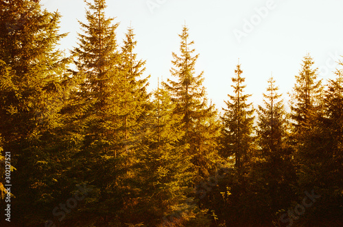 Foto auf Leinwand Schokobraun Panoramic of coniferous forest in the mountains in summer at sunset. Real grain scanned film.