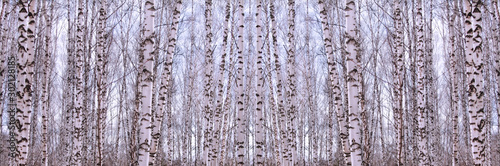Birch trees against the blue sky. Trunks of birches texture background. Birch forest in the winter. Abstract winter trees background.