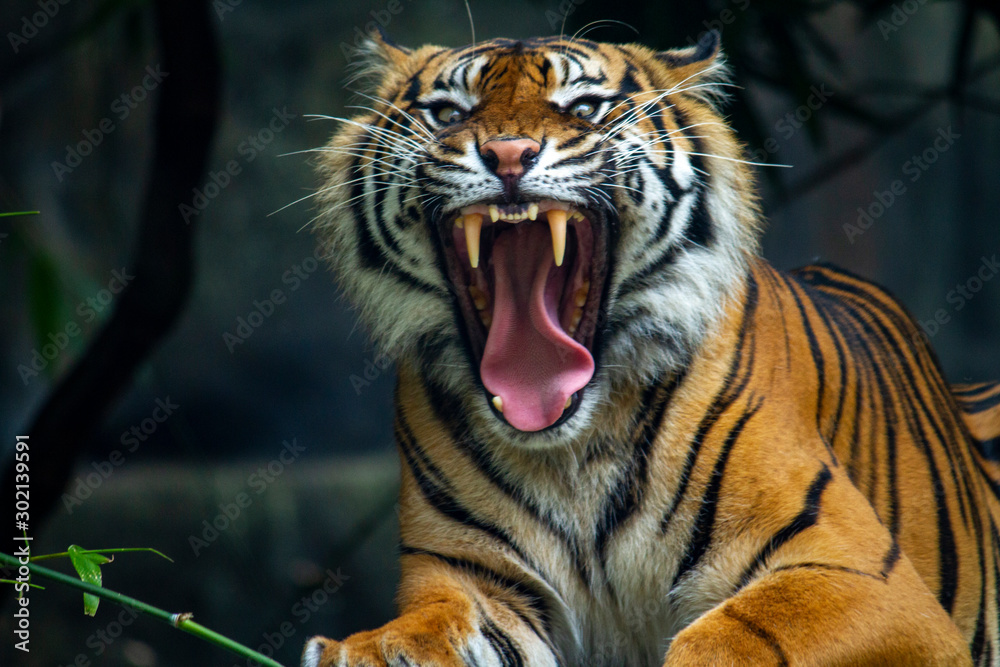 Fototapeta A proud Sumatran Tiger with a huge growl and baring teeth
