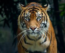 A Proud Sumatran Tiger Prowling And Looking Straight At The Camera