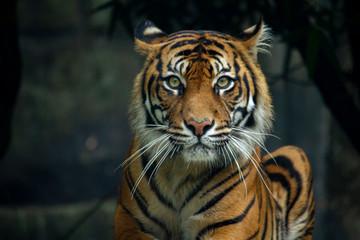 Ponosni sumatranski tigar leži i gleda ravno u kameru 2