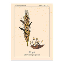 Ergot Fungi Claviceps Purpurea...