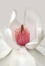 Illustration Of A White Flower With Pink Stamens