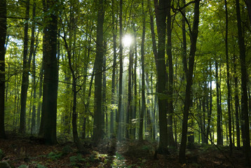Rays of sunlight shining in forest with beech trees in autumn in the Belgian Ardennes, Europe