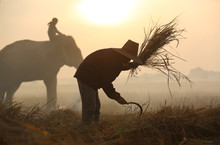 Asian Farmer Are Harvest In Th...