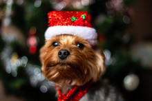 Beautiful Yorkshire Terrier In...