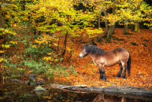 Stunning Autumn Fall Colorful Vibrant Woodland Landscape With Wild Pony By Lake