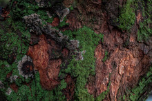 Green Moss Cover On Tree Bark Background. Close-up Moss Texture On Tree Surface, Natural Pattern.
