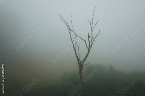 Eerie bald tree in the mist