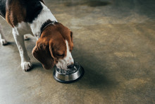 Adorable Beagle Dog Drinking Water From Bowl