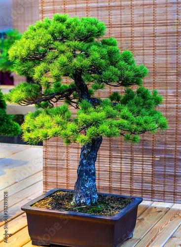 Deurstickers Bonsai Bonsai tree. Beautiful small pine tree