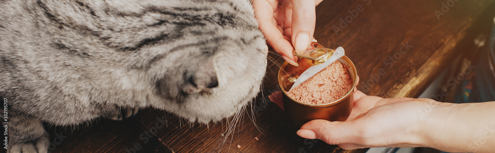 Fototapeta panoramic shot of young woman giving scottish fold cat pet food in can
