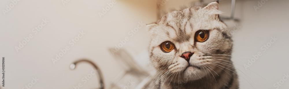 Fototapeta panoramic shot of adorable grey scottish fold cat looking at camera