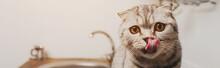 Panoramic Shot Of Cute Grey Scottish Fold Cat Licking Nose In Kitchen