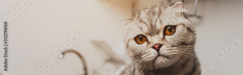 Fototapeta panoramic shot of adorable grey scottish fold cat looking at camera obraz