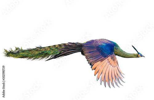 Male Thai peacock flying on a white background Wallpaper Mural