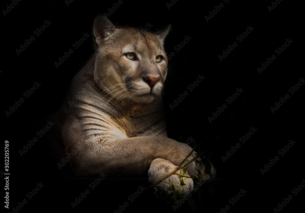 Fototapeta A proud beautiful predatory cat sits in the darkness. cat in the night forest, black background. cougar sits on a platform surrounded by green leaves, a big cat.