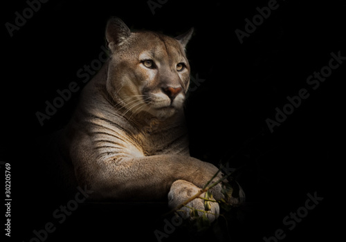 Obraz A proud beautiful predatory cat sits in the darkness. cat in the night forest, black background. cougar sits on a platform surrounded by green leaves, a big cat. - fototapety do salonu