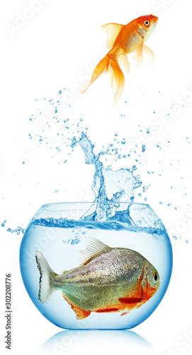 gold fish runs away from piranha Canvas-taulu
