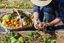 Au Potager - Récolte De Légu...