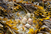 Tiny Periwinkle Snails On Rock...