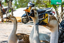 Chinese Goose In Rishikesh, In...