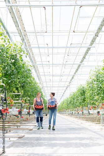 Young female farmers walking while carrying tomatoes in crate at Greenhouse Wall mural