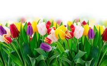 Fresh Tulips Flowers