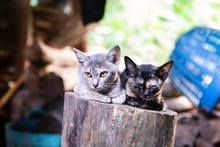 Two Little Cat On Log Wood Over Blurred Wood Pile And Garden Background, Thai Cat At The Countryside House