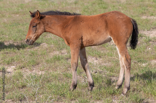 Fényképezés Wild Horse Foal in Spring in the Utah Desert