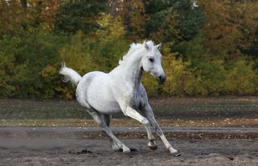 White arabian horse galloping on autumn farm paddock
