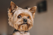 Dog Yorkshire Terrier Portrait...